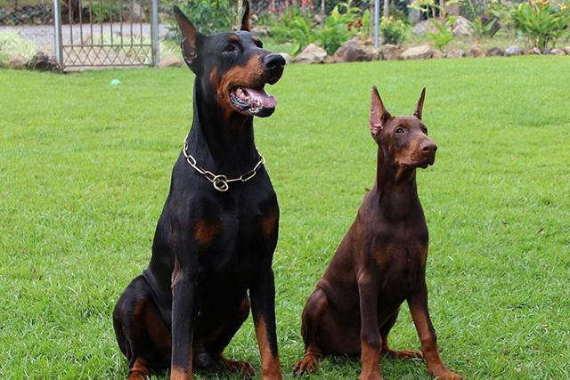 クインテッセンスドッグファミリー 犬の飼育募集